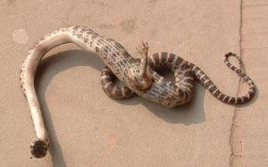 serpientes-con-patas